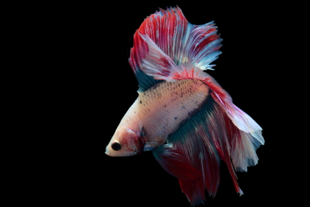 betta: yellow fighting fish on a black background.