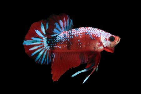 Koi fighting fish. Stock Photo