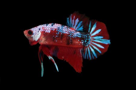 Koi fighting fish. Banco de Imagens