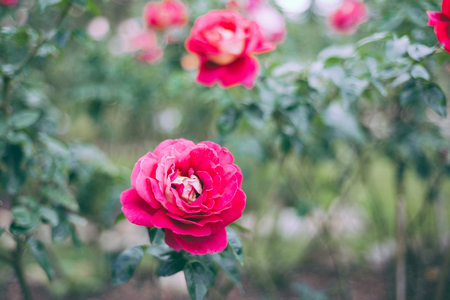 poetic: Colorful, beautiful, delicate rose in the garden
