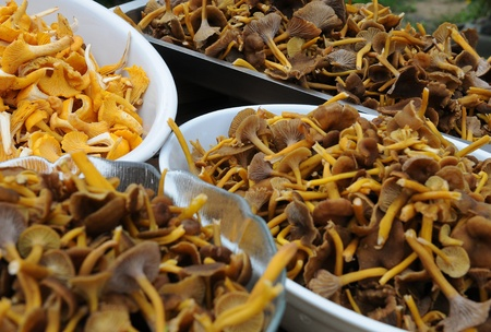 A table full of freshly picked chanterelles placed in bowls Stock Photo