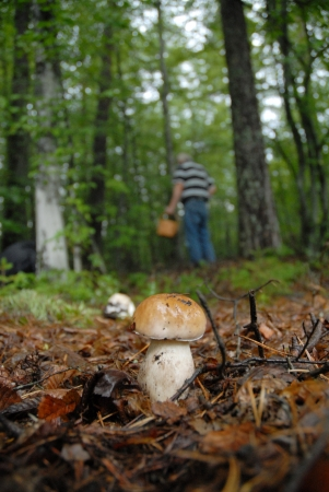A male person serching for mushrooms in the forest.