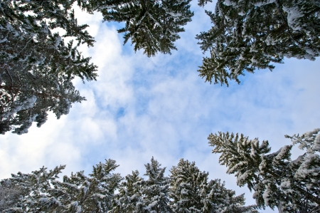 Snowy pinetrees seen from underneath against a  blue winter sky Stock Photo