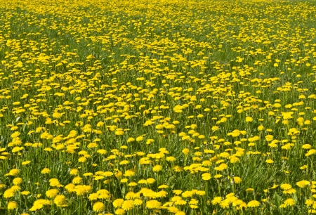 Closeup of a field with flowering yellow dandelions