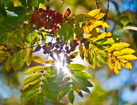 Sunbeams shining through some colorful leaves and some red and ripe rowanberries Stock Photo