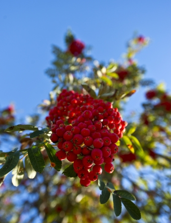Cluster of red and ripe rowanberries against a blue sky photo