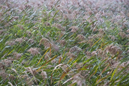 Closeup of field of reed in late summer