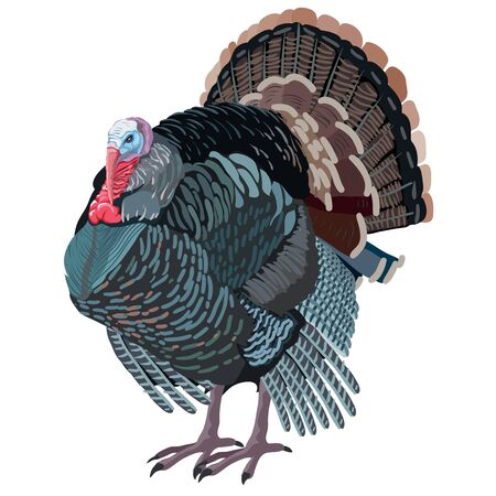 Natural turkey bird from farm isolated object on white background, vector illustration