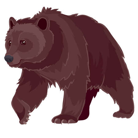 brown wild bear threatens, isolated object on a white background. Ilustração