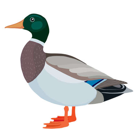 duck or drake from the farm, logo, isolated object on a white background, vector illustration Ilustracja