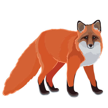 red fox in natural style, isolated object on a white background, vector illustration