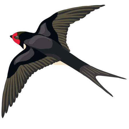 black swallow in a natural style flies spread its wings, isolated object on a white background, vector illustration