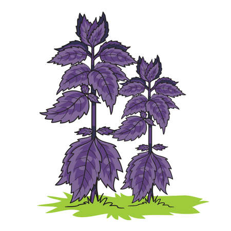 Big basil bush in purple color, isolated object on white background, vector illustration