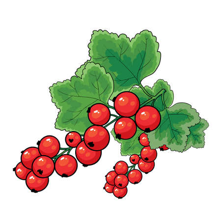 red currant bush with green leaves, isolated object on white background, vector illustration, eps