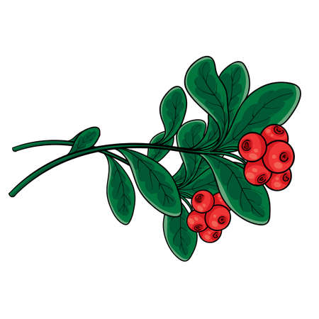 branch of red lingonberry with green leaves, isolated object on white, vector illustration, eps