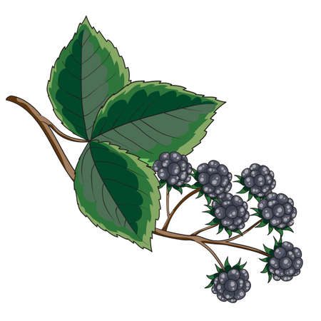 blackberry bush with green leaves, isolated object on white background, vector illustration