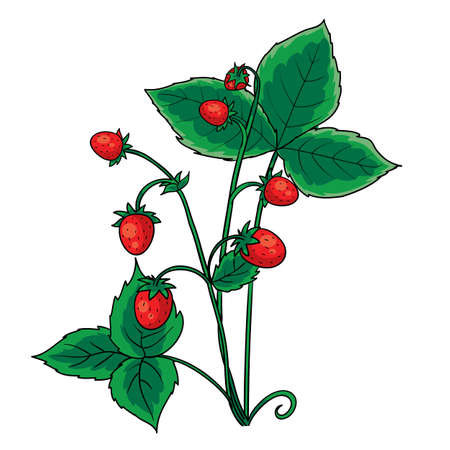 red berry strawberry with green leaves, isolated object on white background, vector illustration