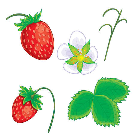 set of wild strawberries from berries, flower, leaves and branches, isolated object on white background, vector illustration, eps
