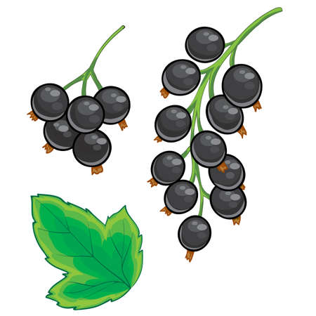 set of black currant, black berries and green leaves, isolated object on white background, cartoon illustration, vector illustration, eps