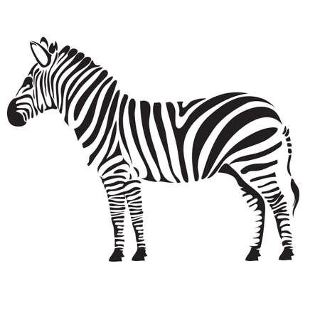 stylized zebra, isolated object on white background, vector illustration, eps 矢量图片