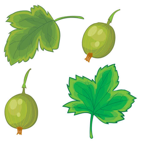 set of gooseberry leaves and berries, cartoon illustration, isolated object on white background, vector, eps Illusztráció