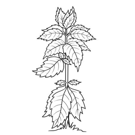 sketch of nettle or basil plants, coloring book, isolated object on white background, vector illustration, eps