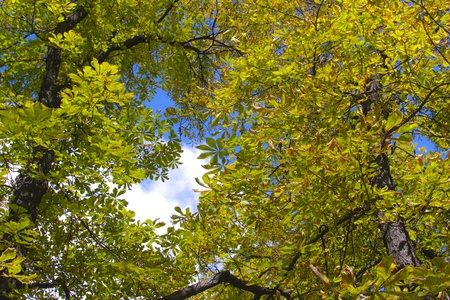treetop: Chestnut tree crown in the fall season in direct sunlight. A lot of autumn colors  Stock Photo