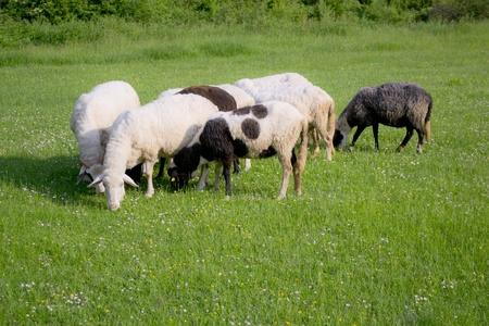 bosna: pecore sul prato