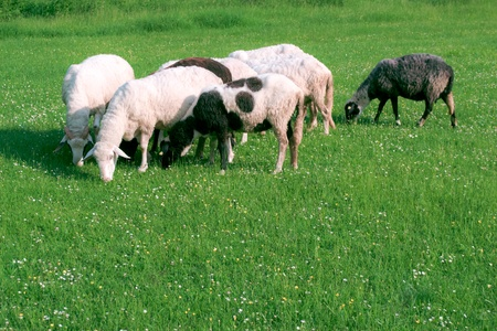 sheep on pasture photo