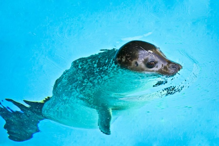 Beautiful young seal swimming photo