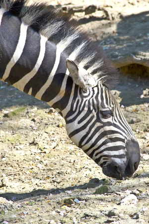 burchell: Zebra grazing