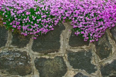 vine country: flowers on the garden walls of rough stone
