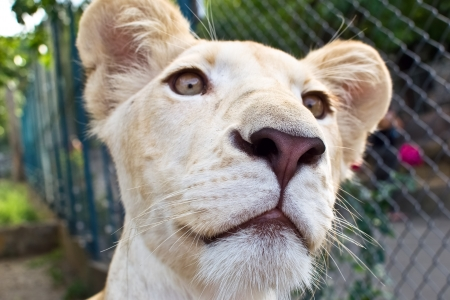 panthera leo: Lion cub in the zoo