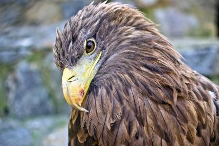 eagle Stock Photo - 15227050