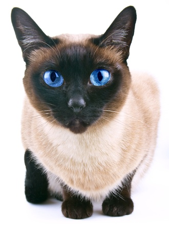 cat tail: Siamese cat isolated on the white background
