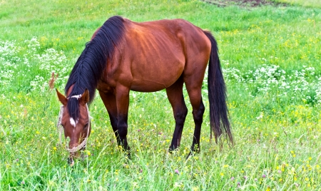 steeplechaser: Horse on green grass meadow Stock Photo