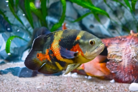 oscar fish in aquarium photo
