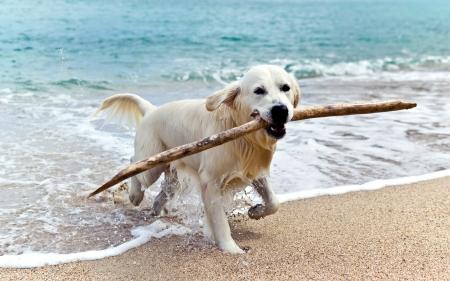 해변에 래브라도 리트리버 스톡 콘텐츠