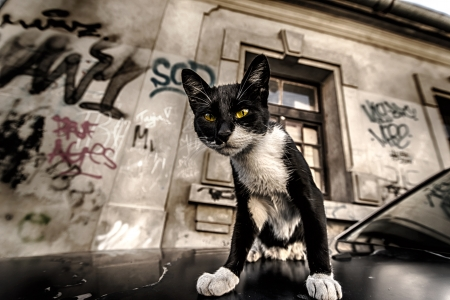 cat on the car and street graffiti on old wall grunge effect Stock Photo