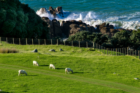 new zealand landscape with sheep pacific ocean