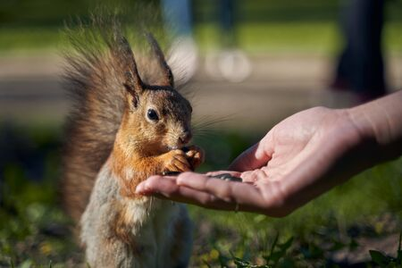 Ginger beautiful squirrel with fluffy fur takes from hands of human seeds and bites eating. Curious not timid hungry rodent is not afraid runs asks for food in Park. Sharp ears black small eyes.