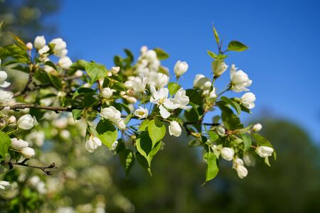 Close up shot of blooming apple tree branch in city garden. Gentle white flowers and green leaves illuminated by spring sunshine over blue sky on wonderful spring day. Spring nature beauty concept.