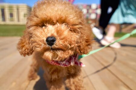 Close up photo of lovely curly poodle dog puppy with funny fluffy dogs face, wearing cute collar, looking curiously at camera, having joyful walk with his human in city park on pretty summer day.