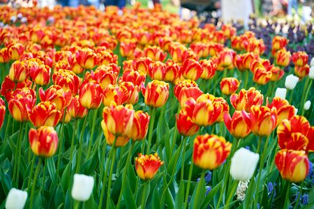 Field of colorful tulips. A variety of blooming flowers in the city garden. Annual tulip festival illuminated by sunshine in botanical park in Saint-Petersburg, Russia. Spring nature beauty concept.
