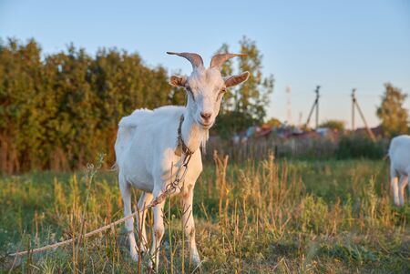 White young goat grazing in a meadow on hot Sunny day. A farm animal with beautiful curved horns against green meadow and blue sky in evening.