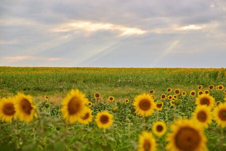 Spectacular landscape of huge countryside field full of blooming sunflowers and greenery against partly clouded magnificent sky with breaking sun rays. Concept of amazing nature beauty.