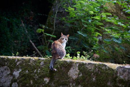 Striped spotted wild cat walks in the woods on a rocky path covered with moss. Portugal, Sintra, summer. Фото со стока