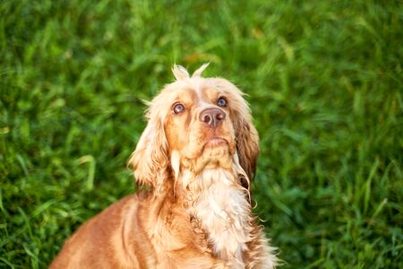 Ginger Spaniel looks at place of your advertising Stock Photo - 133686476