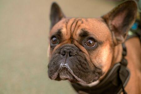 bulldog marrón mirando el lugar de su anuncio Foto de archivo
