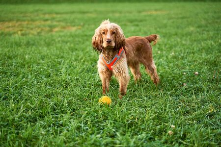 Ginger color curly Spaniel stands on green grass